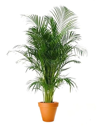 Areca Palm 400pw